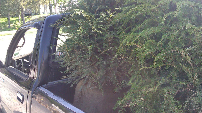 Canadian Hemlocks
