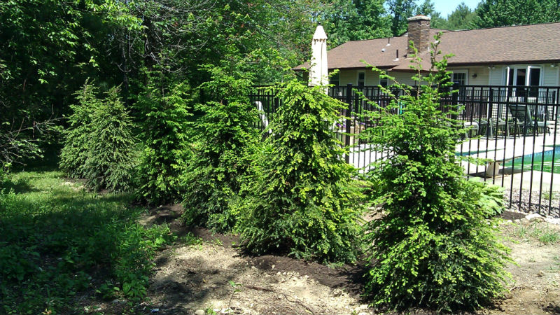 Canadian Hemlock- Privacy fence
